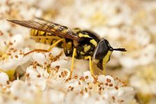 Free Hoverfly Feeding On Flowers Royalty Free Stock Images - 19586609