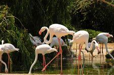 Free Pink Flamingos Stock Photos - 19586893