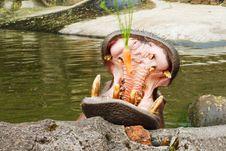 Free Hippopotamus Take A Meal Royalty Free Stock Photos - 19587038