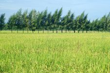 Rice Field And Pine Royalty Free Stock Photos