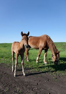 Mare And Her Foal Stock Image