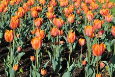 Free Orange Tulips Royalty Free Stock Photography - 19588287