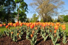 Free Orange Tulips Stock Image - 19588301