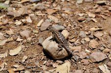 Free Sunbathing Lizard Stock Images - 19589084