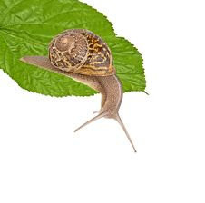 Clsoe Up Of Burgundy Snail Royalty Free Stock Photo