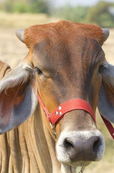 Free Cow Royalty Free Stock Photography - 19589917