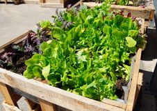 Free Lettuce Seedlings Stock Photo - 19589920