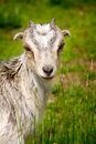 Free Goat Grazing In A Field Stock Images - 19590854