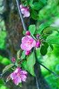 Free Apple Flowers Stock Photos - 19592933