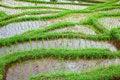 Free Rice Field Stock Image - 19594621