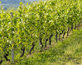 Free Row Of Grapevine In Italian Hills Royalty Free Stock Photos - 19595728