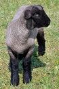 Free Lamb Royalty Free Stock Photography - 19598737