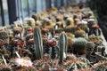 Free Cactus Royalty Free Stock Photos - 19599308