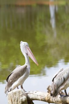 Free Spot-billed Pelican Royalty Free Stock Photo - 19590035