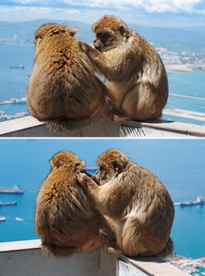 Free Barbary Monkey Grooming Another In Gibraltar Stock Images - 19590644