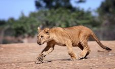 Running Lion Cub Royalty Free Stock Photography