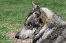 Free Wolf Stock Image - 19590881