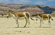 Free Onager Ass At The Negev Desert, Israel Stock Photography - 19591082