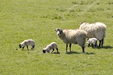 Free Lambs And Sheep In Field Stock Image - 19591351