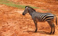 Free Zebra Royalty Free Stock Photos - 19591568