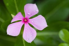 Free Raindrops On Purple Flower Stock Photos - 19592473