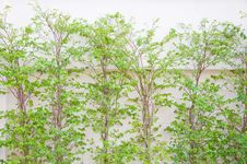 Free Trees And Wall Royalty Free Stock Photography - 19592767