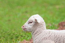 Free Cute Lamb Royalty Free Stock Image - 19593416