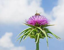 Free Flowering Spear Thistle Stock Images - 19593564