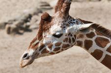 Free Giraffe Royalty Free Stock Image - 19593826