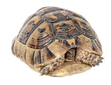 Free Greek Tortoise Royalty Free Stock Photography - 19593887