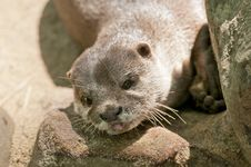Free Otter Stock Images - 19593964