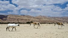 Free Onager And Oryx In Nature Reserve, Israel Royalty Free Stock Images - 19595409