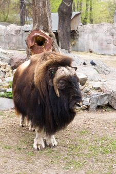 Yak Royalty Free Stock Images