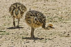Babies Of African Ostrich At Hai-Bar, Israel Stock Photo