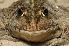 Free Frog Close Up (макро), The Front View Stock Photography - 19595692