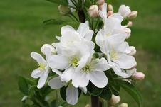 Free Blossoming Branch Of Apple-tree Royalty Free Stock Photo - 19596005