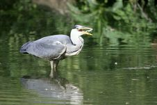 Free Grey Heron With A Fish In The Beak Royalty Free Stock Photo - 19596845