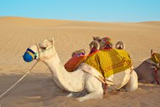 Free Camel Royalty Free Stock Photography - 19597237