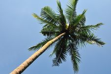 Free Coconut Tree Stock Image - 19597511