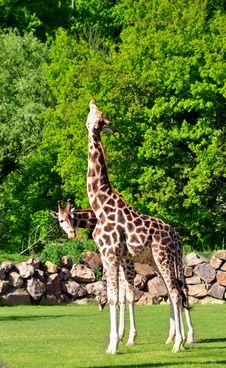 Free Giraffe Royalty Free Stock Photography - 19598647