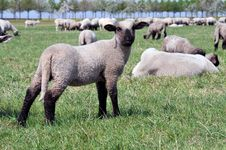Free Herd Of Sheep Stock Photo - 19598800