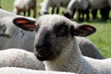 Free Sheep Close Up Royalty Free Stock Photography - 19598837