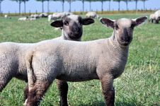 Free Two Lambs Stock Image - 19598901