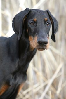 Free Dreaming Doberman Puppy Stock Photos - 19599843