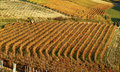 Free Autumn In A Vineyard In Italy Stock Photos - 1961063