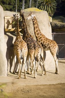 Free Four Giraffes Stock Images - 1960224
