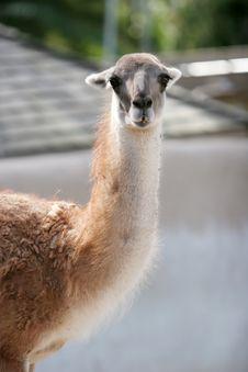 Free Lama Stock Image - 1962641