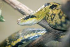Free Python Snake Headshot Royalty Free Stock Image - 1962686