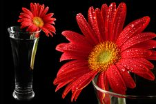 Free Red Gerbera In Drops Of Water Royalty Free Stock Photography - 1962747