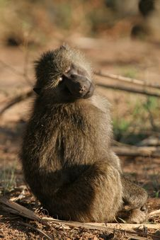 Free Olive Baboon Stock Photography - 1962772